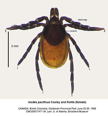 Tick ID | CanLyme – Canadian Lyme Disease Foundation