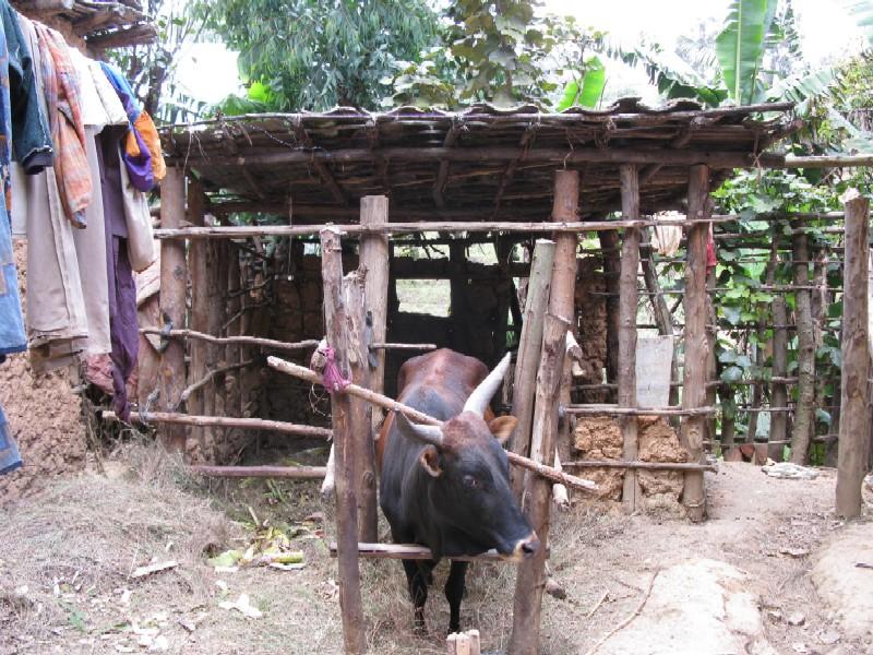 Rwanda Cows